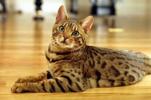 Raza de gatos bengalí.
