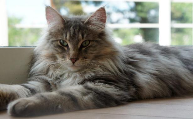 Raza de gato del bosque de noruega
