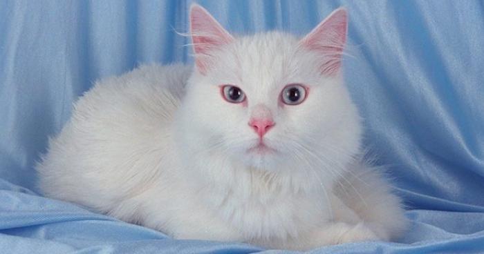 Raza de gato angora turco.