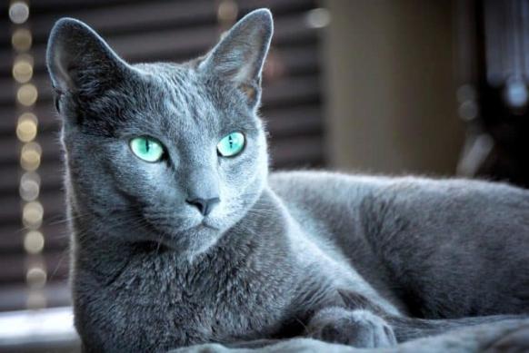 Raza de gato azul ruso.