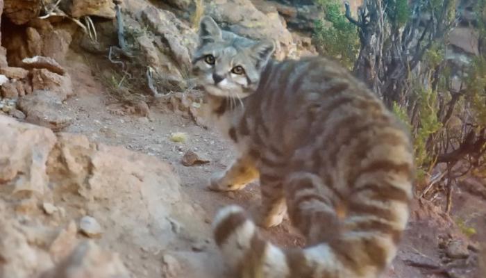 Gatos amenzados