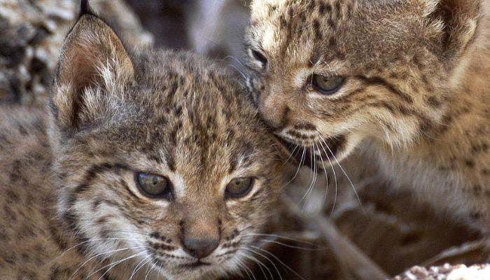 Crías de gatos andinos