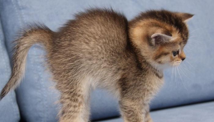 por qué los gatos se erizan