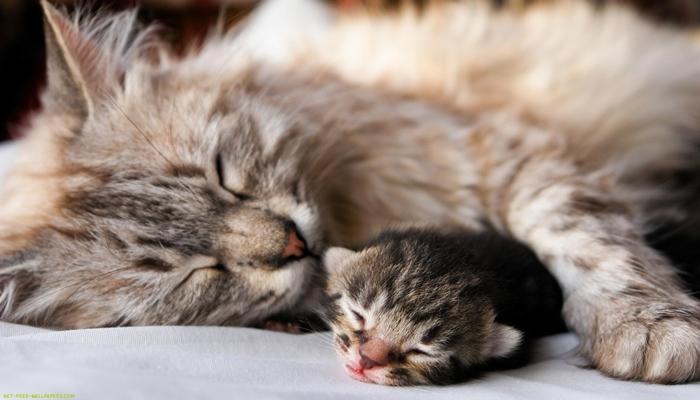 Cada cuánto tienen cría los gatos