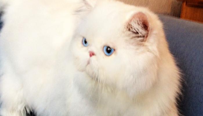Capacidades del gato persa