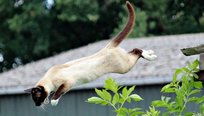 Sabes cuánto puede saltar un gato? ¡Te sorprenderás!