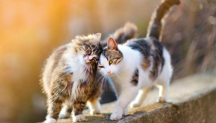 Las gatas pueden quedar embarazadas de varios gatos