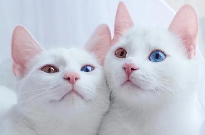 No es obligatorio que las gatas sean madres
