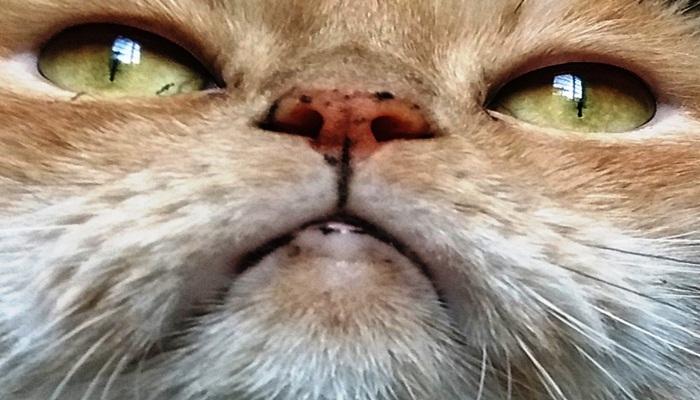 manchas en el hocico al gato