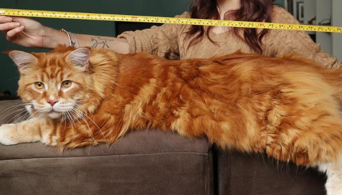 Cuánto mide el gato