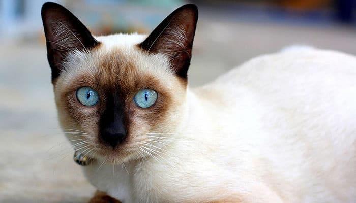 Orejas de gatos