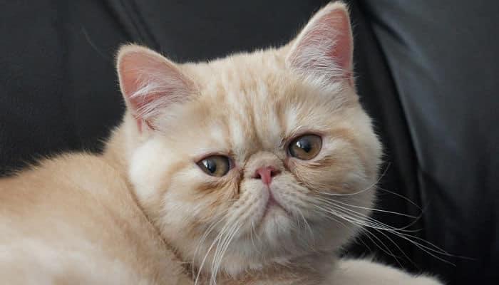 gato persa con el pelo corto