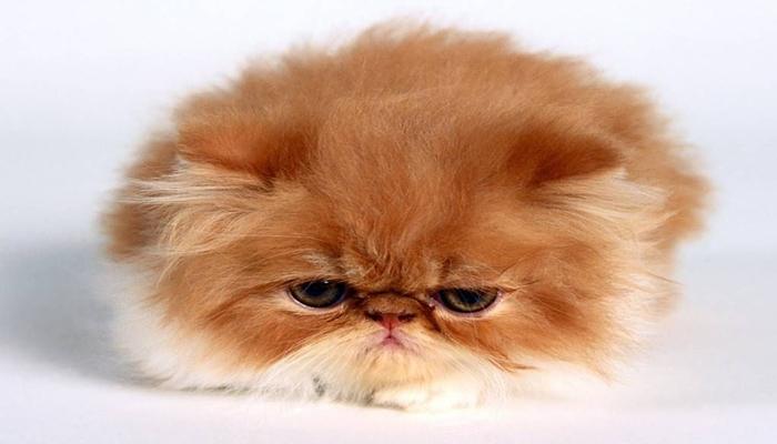 cachorro de gato persa