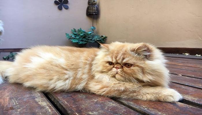 pelaje de gato a rayas claras