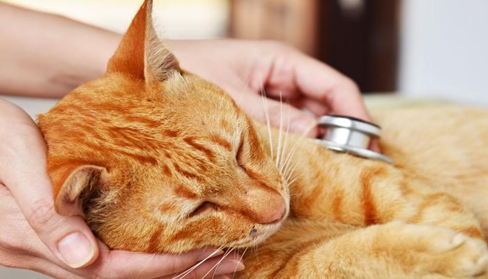 veterinario escuchando la respiración del gato