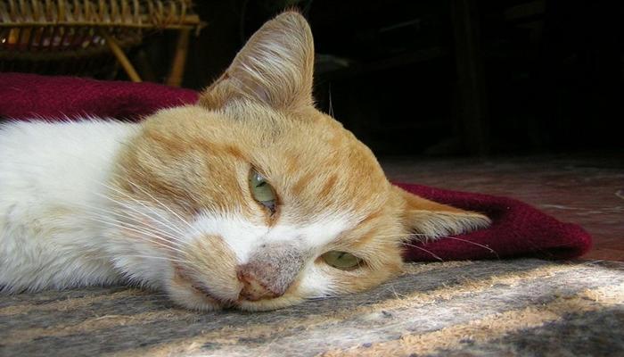 cara de un gato muy enfermo