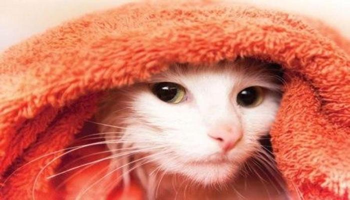 gato enrollado en una toalla