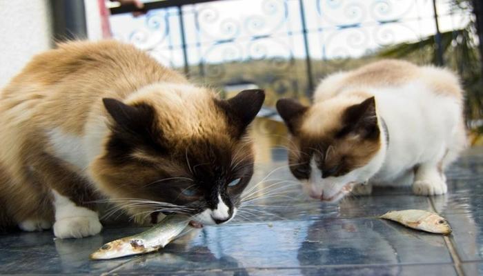 dos gatos comiendo pescado