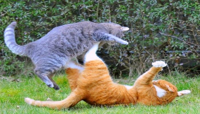 gatos dominante peleando con otro