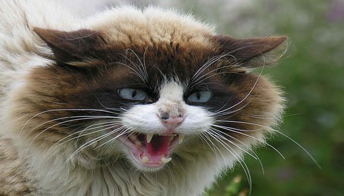 gato gruñiendo