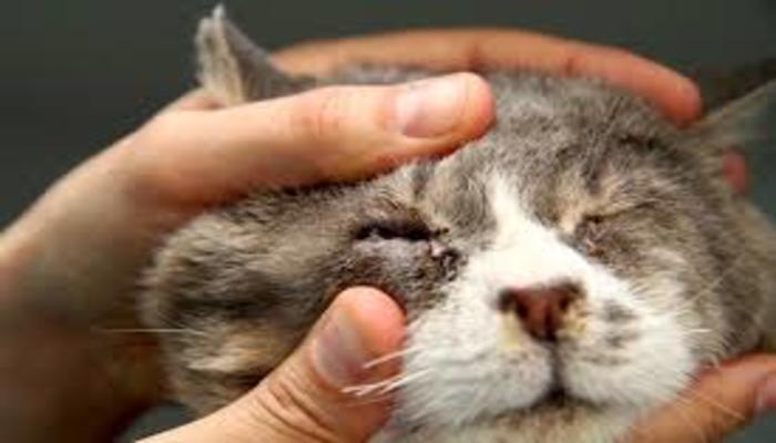 infección del ojo de gato pus en globo ocular