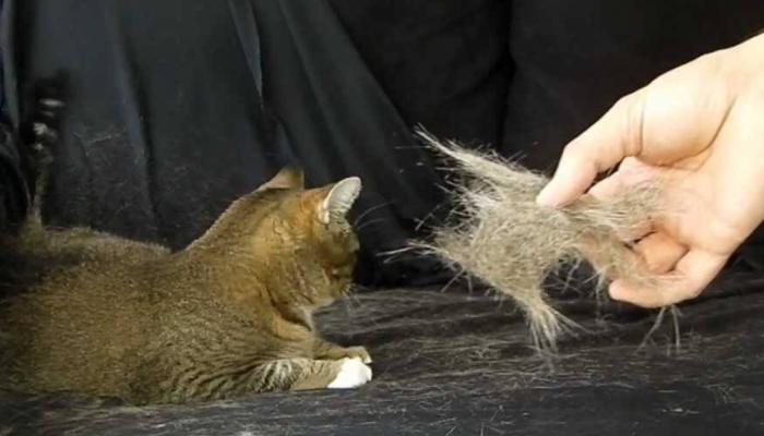 enfermedad que transmiten los gatos en el embarazo