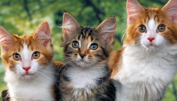 de dónde son originarios los gatos