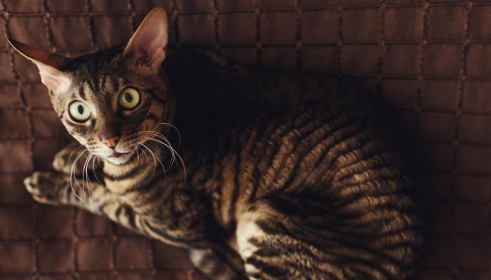 a qué reino pertenece el gato