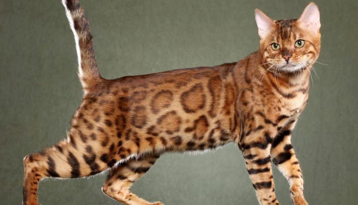 Gatos manchados