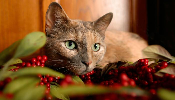 alimentos venenosos para gatos