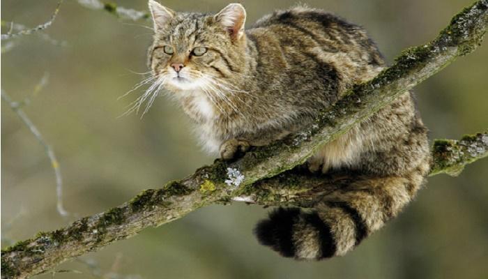 el gato montés está en peligro de extinción