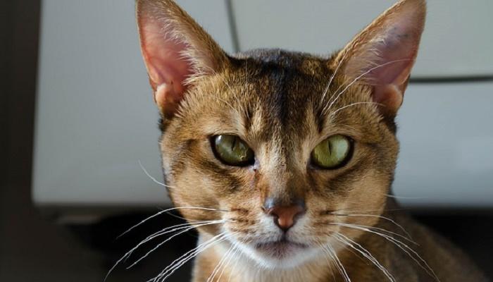 gatos atigrados raza abisinio