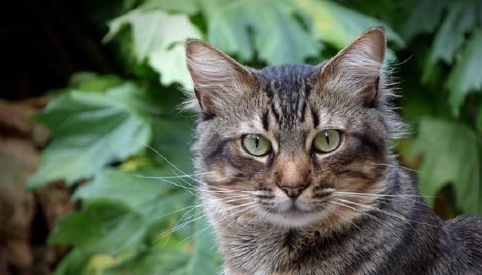 razas de gatos atigrados