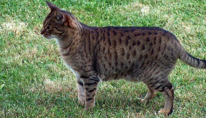 gatos atigrados raza ocicat