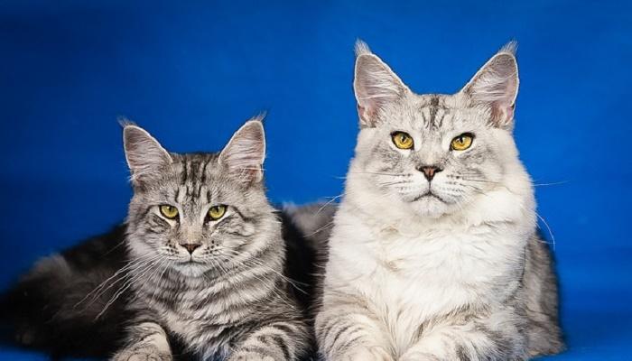 razas de gatos atigrados maine coon