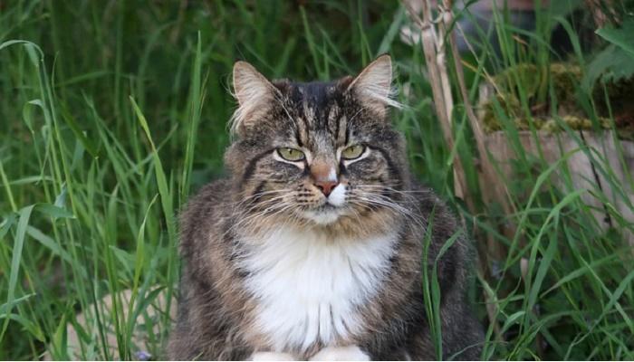 gatos más grandes del mundo bosque de noruega