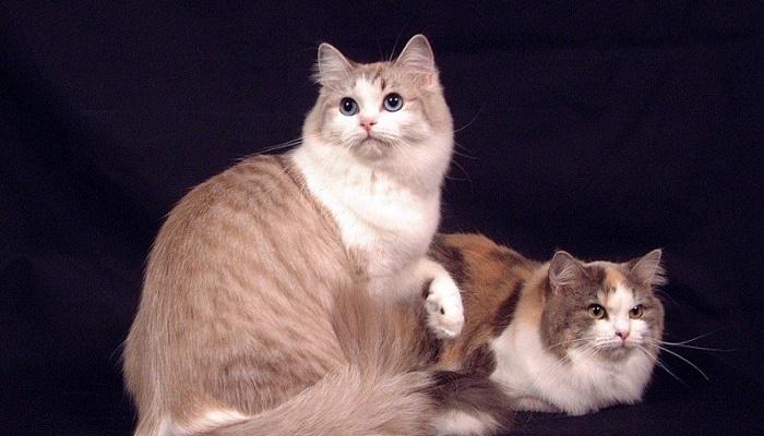 gatos más grandes del mundo ragamuffin