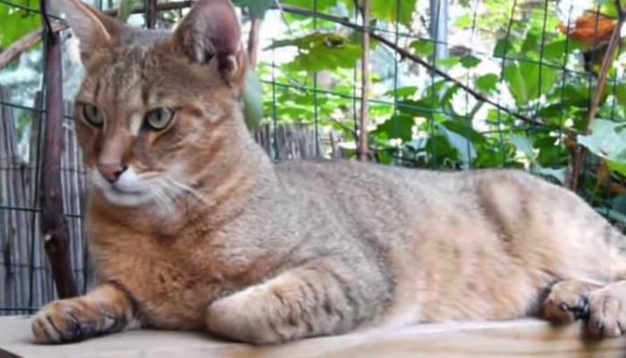 gatos más grandes del mundo chausie