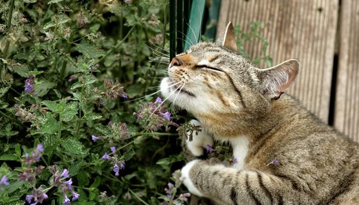 semillas de catnip