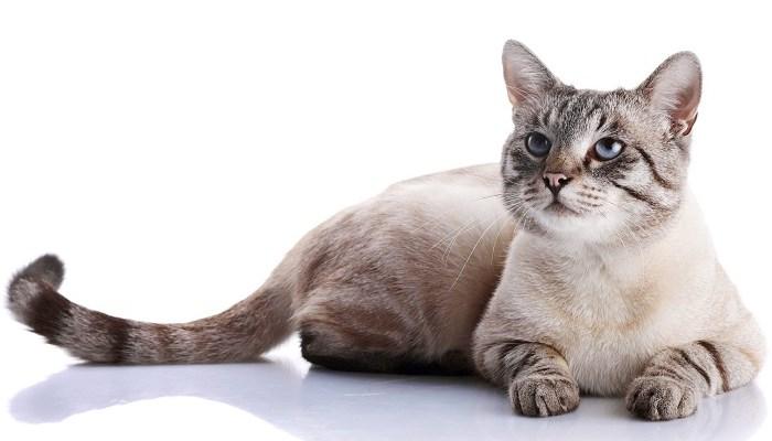 Una gata embarazada puede estar en celo