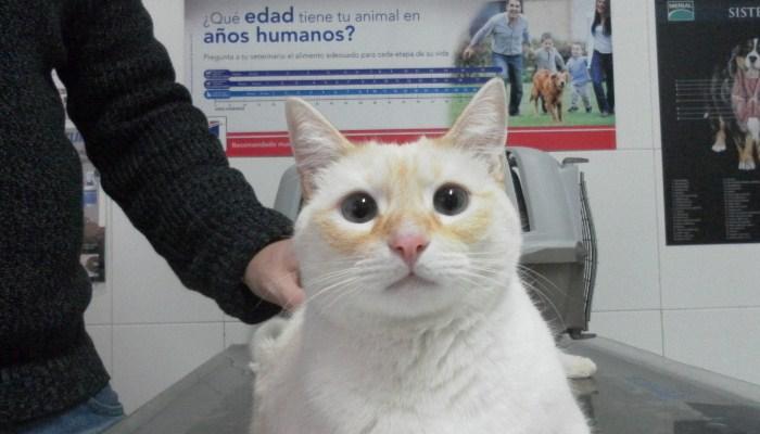 Una gata operada puede entrar en celo