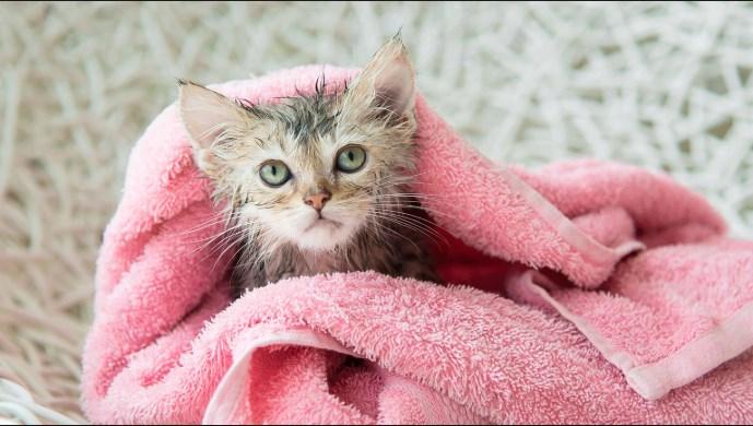 Los gatos pueden ser bañados a partir de los dos meses de vida