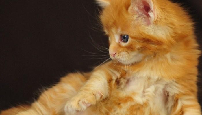 los gatos se alimentan con leche durante los primeros meses de vida