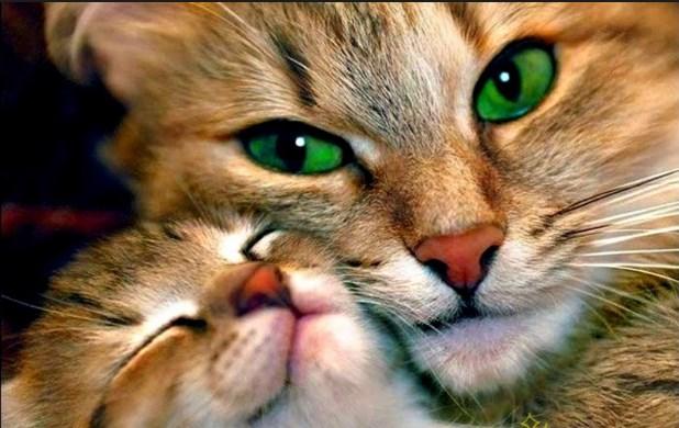 las gatas alcanzan la madurez sexual a los 4 o 5 meses de vida