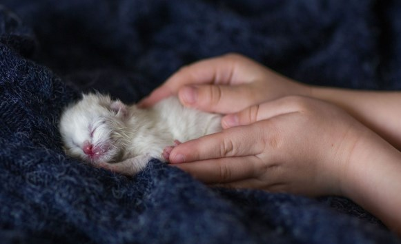 nacimiento de los cachorros de gatos