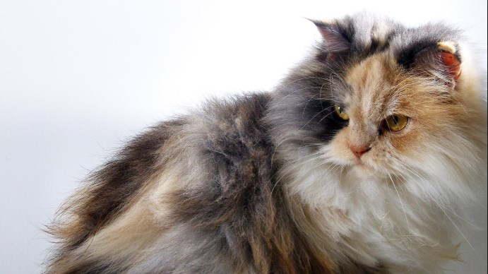 Origen del gato de angora