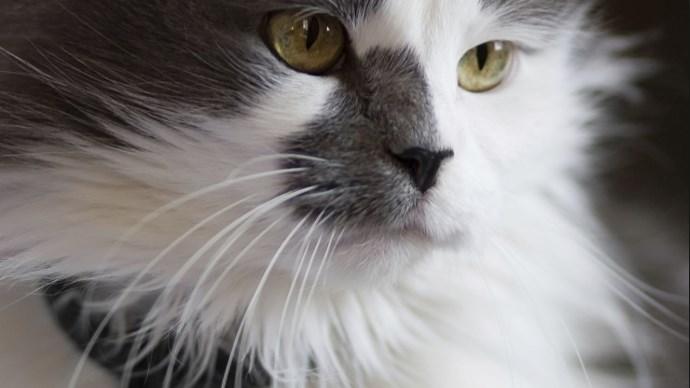Esperanza de vida del gato angora