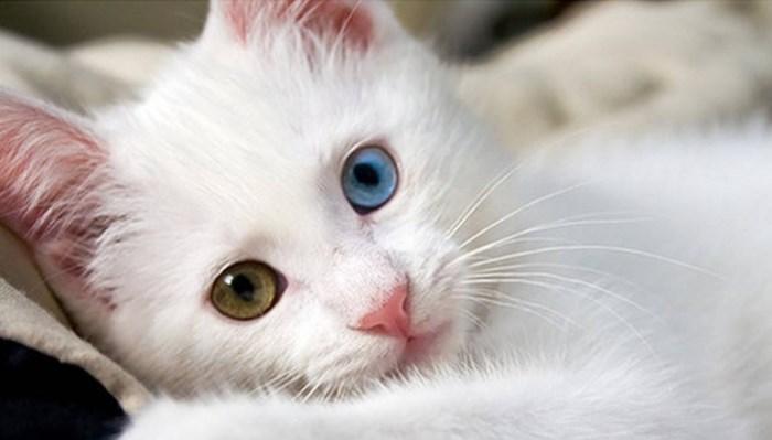 gatos de raza angora bebés