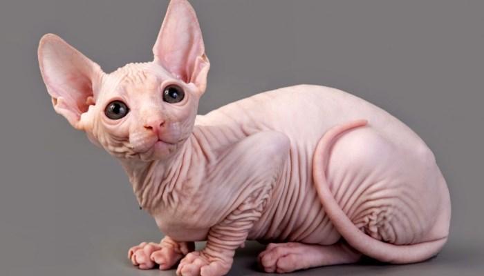 El gato Sphynx tiene una piel muy sensible