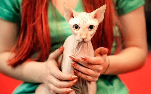 criaderos de gato Sphynx